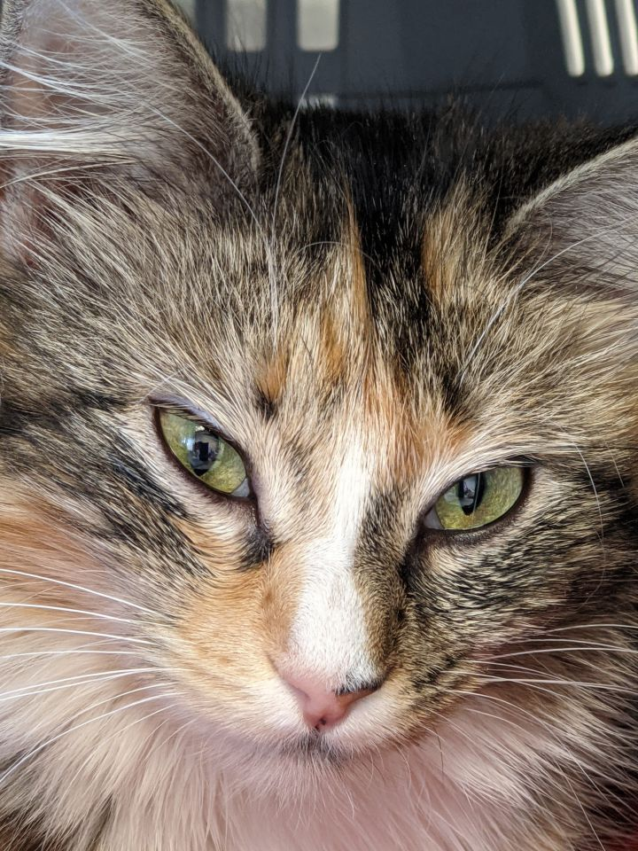 Letty, an adoptable Domestic Medium Hair in Duluth, GA_image-1