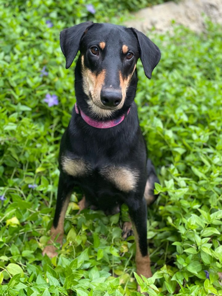 Angelica, an adopted Shepherd & Doberman Pinscher Mix in San Diego, CA_image-2
