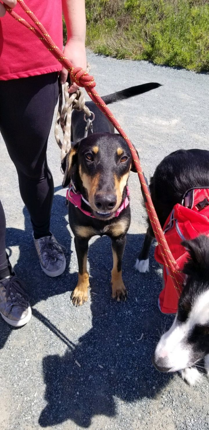 Angelica, an adopted Shepherd & Doberman Pinscher Mix in San Diego, CA_image-3