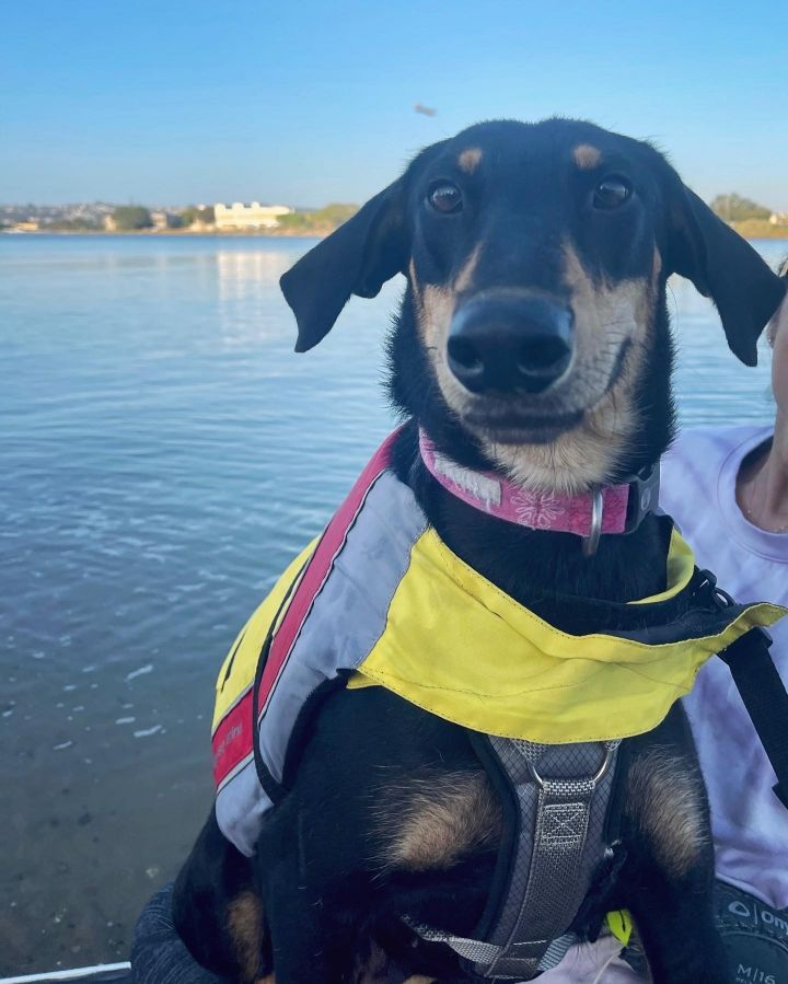 Angelica, an adopted Shepherd & Doberman Pinscher Mix in San Diego, CA_image-1