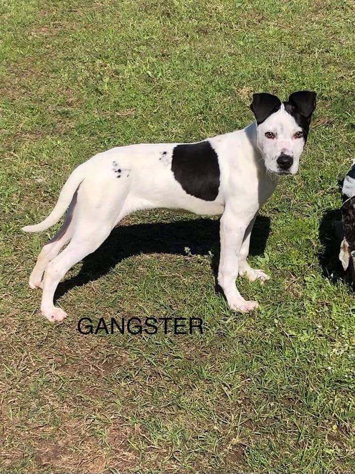 Gangster 4