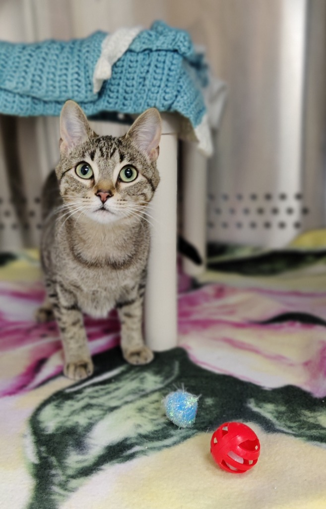 May, an adoptable Domestic Short Hair in Minot, ND