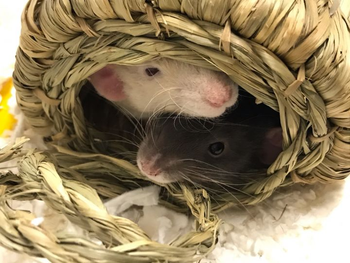 Splinter and Justin, an adoptable Rat in Moscow, ID