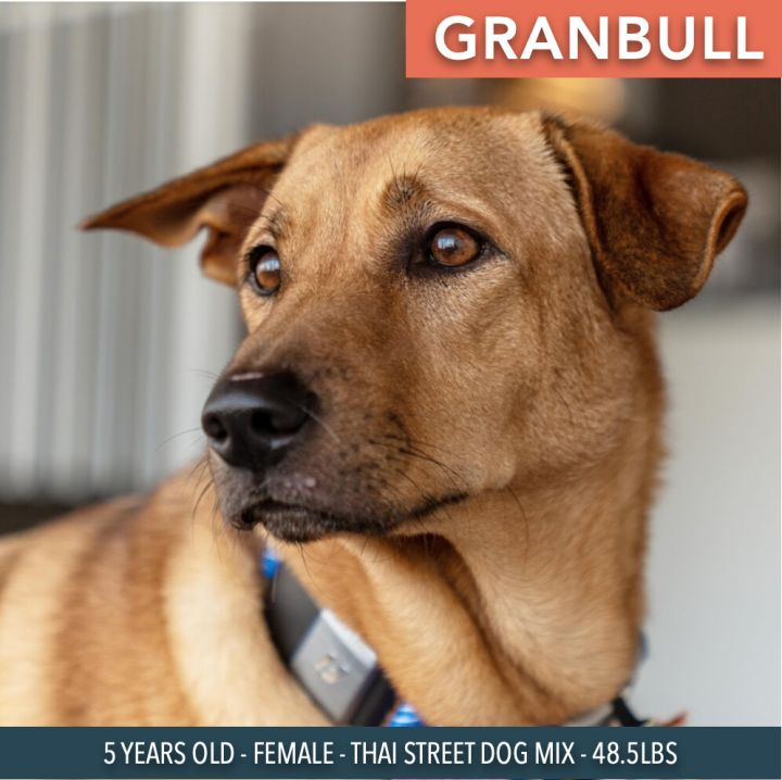 Granbull, an adoptable Mixed Breed in Studio City, CA