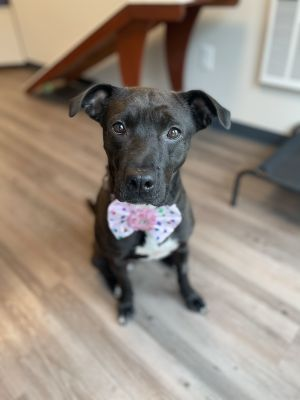 Daphne is a 2 year old 55 pound spayed female Daphne is a sweet girl who enjo