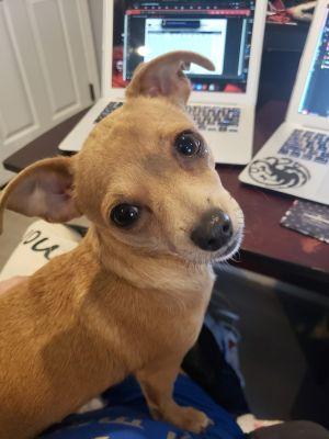 Yodel Chihuahua Dog