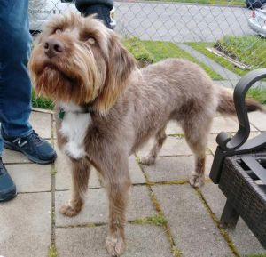 Charlotte - 3 year old Griffon High energy dog Needs a home with a yard Kids over 12 Sweet Charl