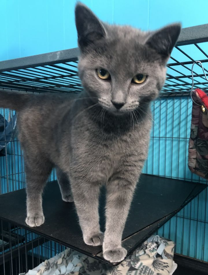 Blue, an adoptable Domestic Short Hair in Spencer, IN