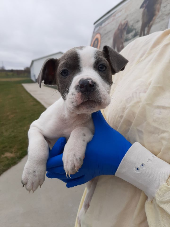 Tory, an adoptable Terrier Mix in Lake Odessa, MI