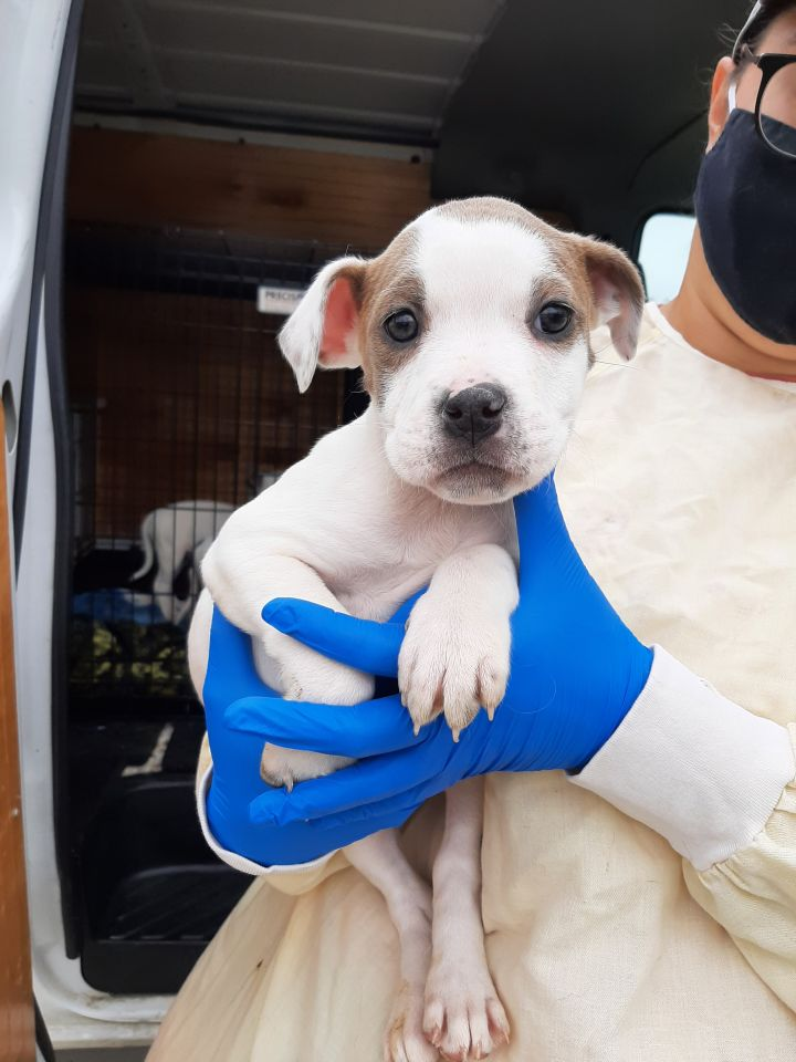 Carmen, an adoptable Terrier Mix in Lake Odessa, MI