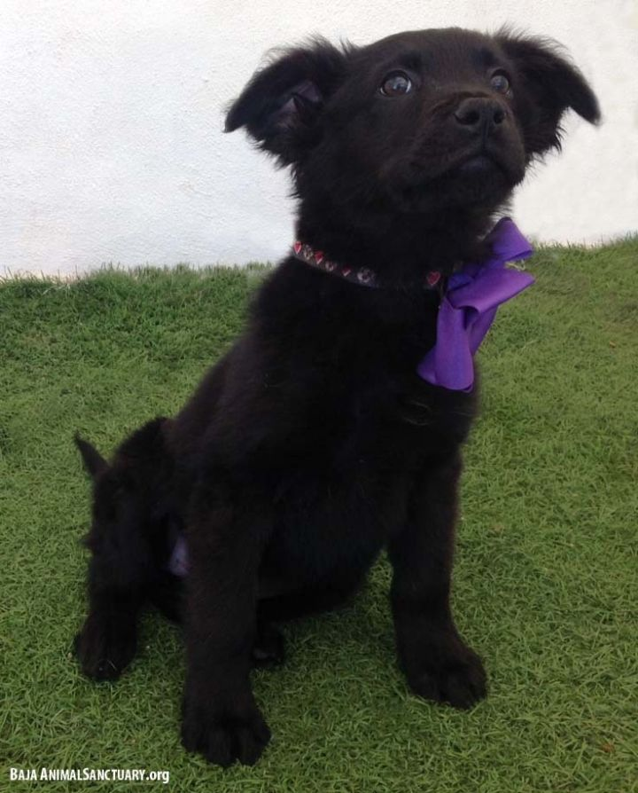 Tegan, an adopted Flat-Coated Retriever Mix in San Diego, CA_image-2