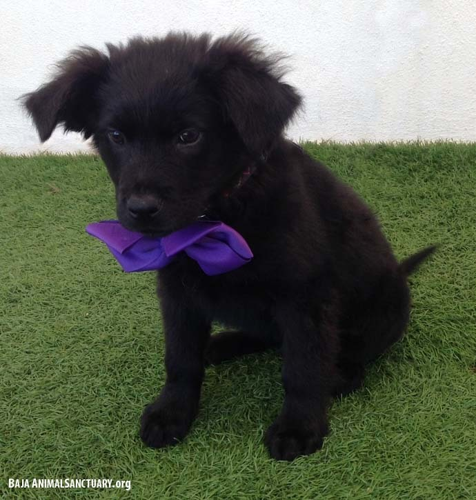 Tegan, an adopted Flat-Coated Retriever Mix in San Diego, CA_image-3