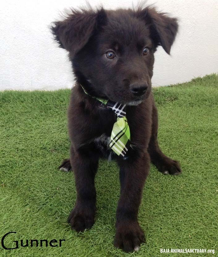 Gunner, an adopted Flat-Coated Retriever Mix in San Diego, CA_image-1