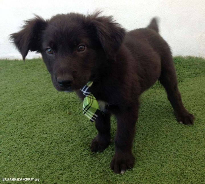 Gunner, an adopted Flat-Coated Retriever Mix in San Diego, CA_image-2