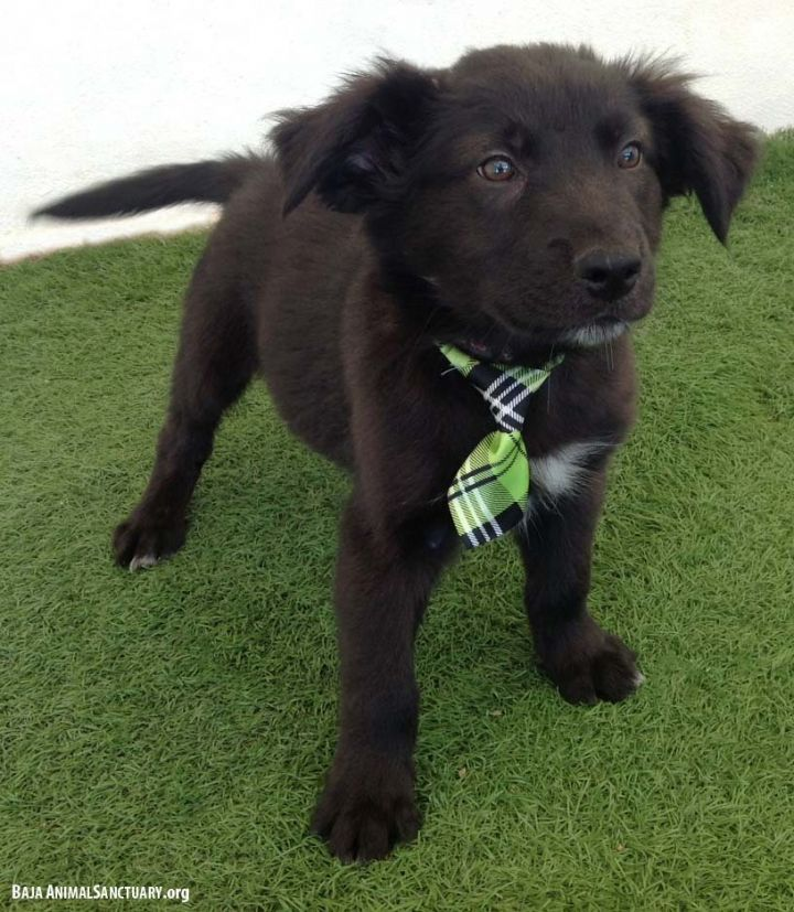 Gunner, an adopted Flat-Coated Retriever Mix in San Diego, CA_image-3