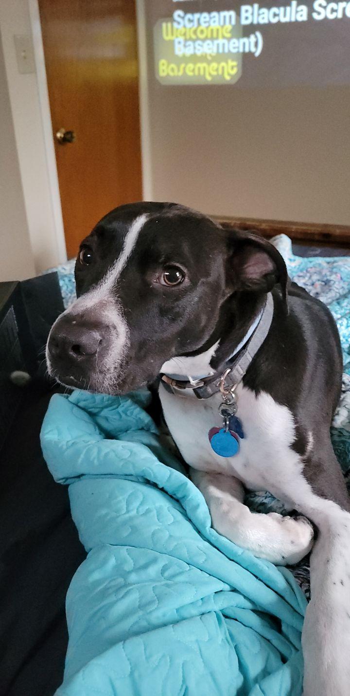 Mo, an adopted Labrador Retriever & Pointer Mix in Cantonment, FL_image-2