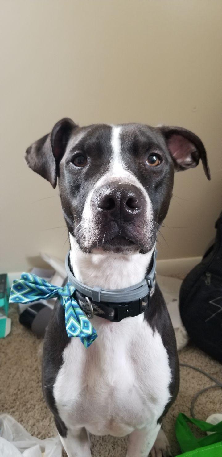 Mo, an adopted Labrador Retriever & Pointer Mix in Cantonment, FL_image-4
