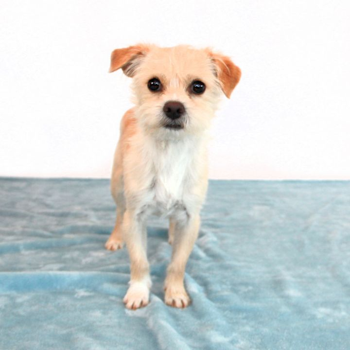 Wade, an adopted Terrier Mix in Clovis, CA