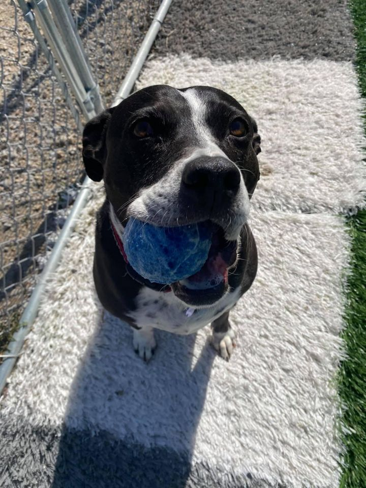 Josey (Jo Jo), an adoptable Staffordshire Bull Terrier Mix in Cedar Rapids, IA
