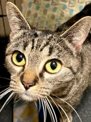Pixie needs to be in an adult only home She does not like other cats but does get along with