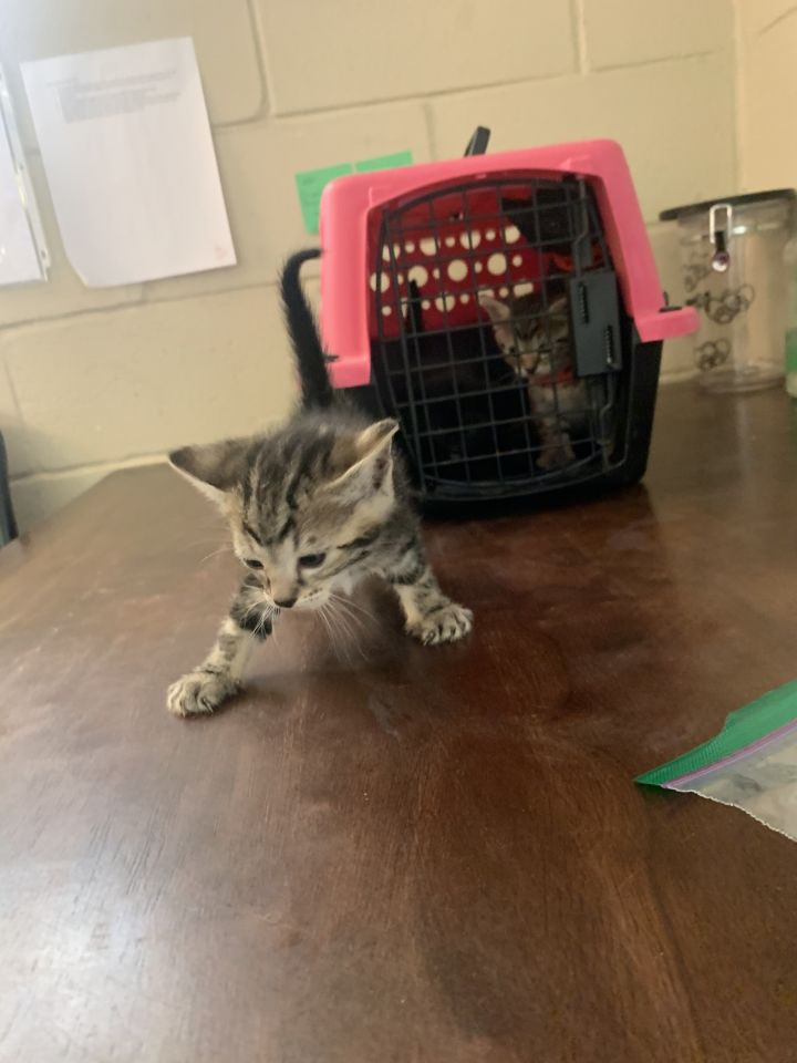Meeny, an adoptable Domestic Short Hair & Tabby Mix in Uvalde, TX