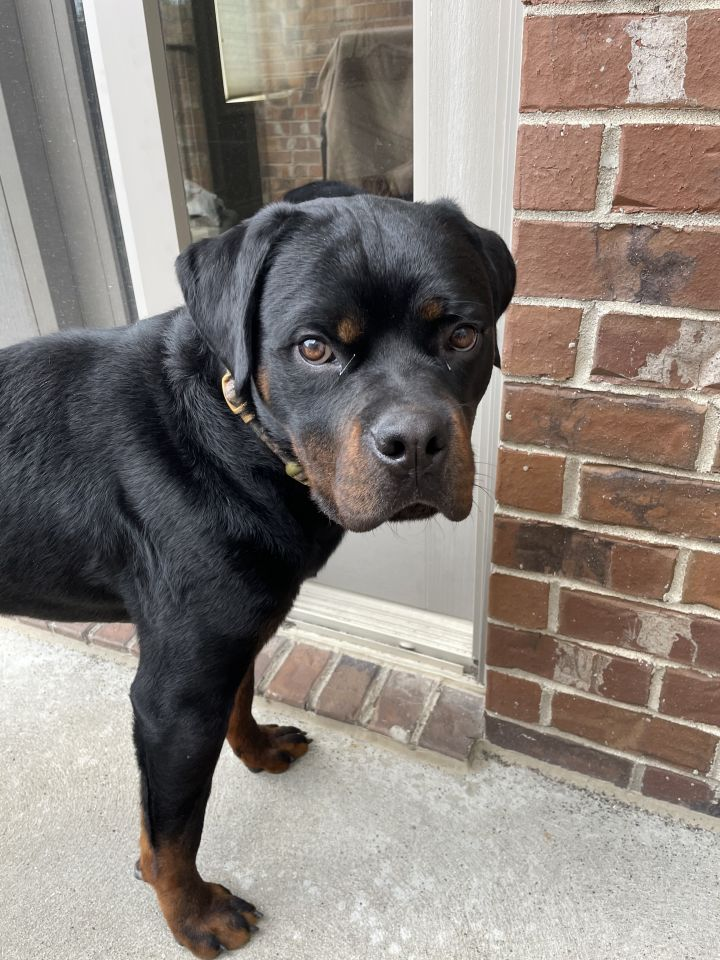 Cobra Bubbles, an adopted Rottweiler in White Lake, MI