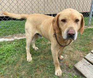 Cassette Labrador Retriever Dog