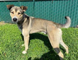 Ryker Shepherd Dog