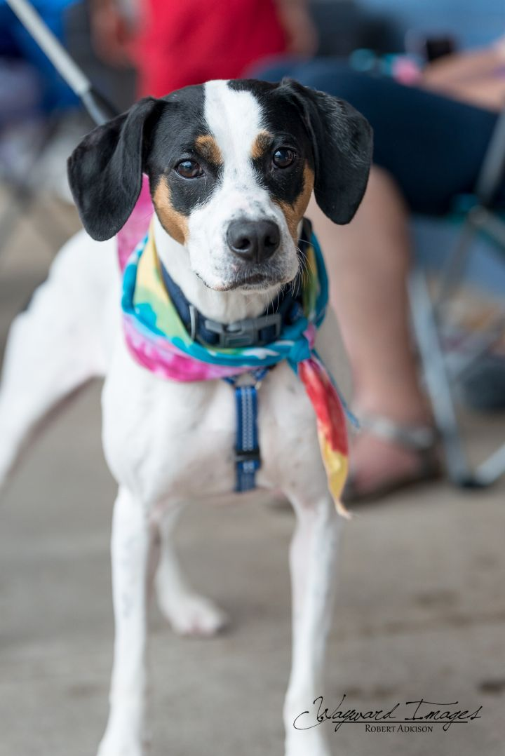 Carley Jo, an adoptable Hound Mix in Springfield, MO