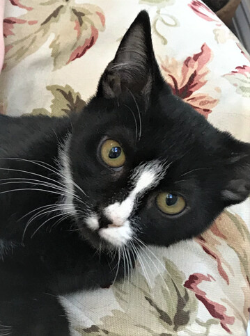 TYSON - Handsome, Sweet, Playful, Cuddly, 5-Month-Old, Tuxedo Boy! 6