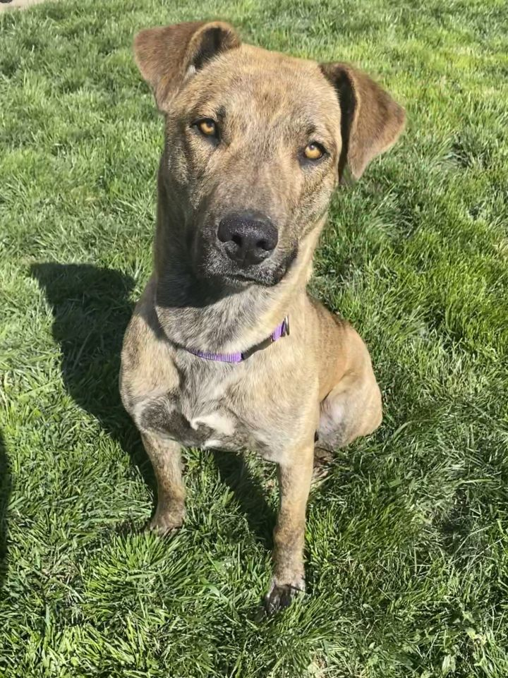 Kenya, an adoptable Mountain Cur Mix in Springfield, MO