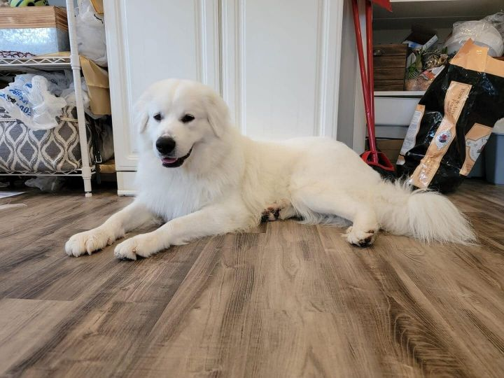 Ziva, an adoptable Great Pyrenees in Troy, VA