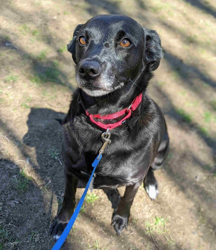 Jewel, an adopted Labrador Retriever Mix in Danbury, CT_image-1