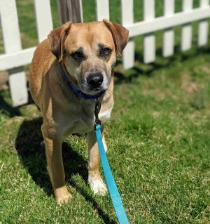 Meet Captain Hook an incredibly sweet and gentle 3-year-old lab mix He weighs 55 lbs and is a tota