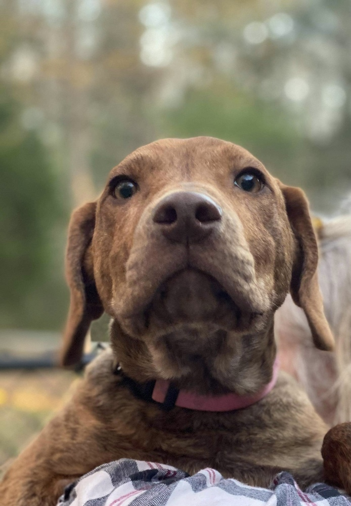 Hazel, an adoptable Hound Mix in Enfield, CT