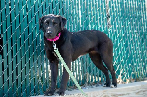 Prof Blackfoot (f), an adopted Labrador Retriever Mix in Bridgewater, NJ_image-1