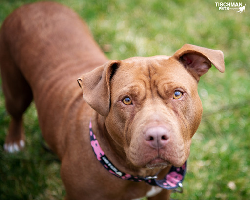Brandi, an adopted Pit Bull Terrier in Bedford, NY_image-1