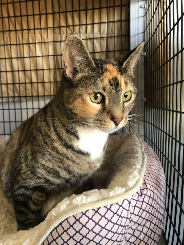 Molly, an adoptable Domestic Short Hair in Warminster, PA_image-1