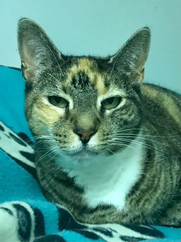 Molly, an adoptable Domestic Short Hair in Warminster, PA_image-4