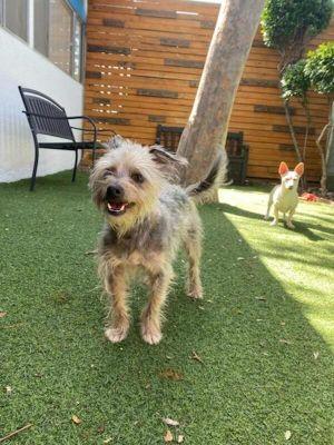 Gollum Yorkshire Terrier Dog