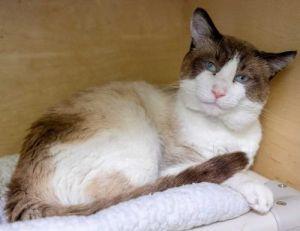 Duke Siamese Cat