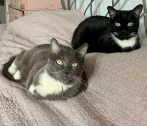 Gracie and Greta Tuxedo Cat