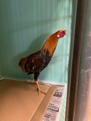 Chanticleer Chicken Bird