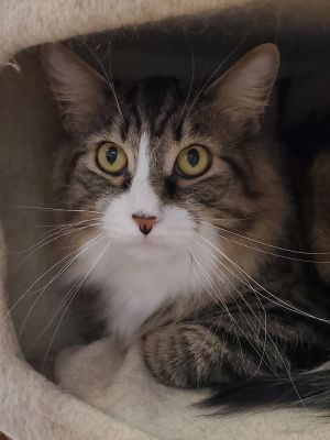 My name is Theo and I am a handsome dark brownwhite tabby We play like kittens and we sleep play
