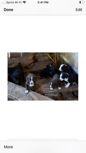 6 border collie pups need a foster home