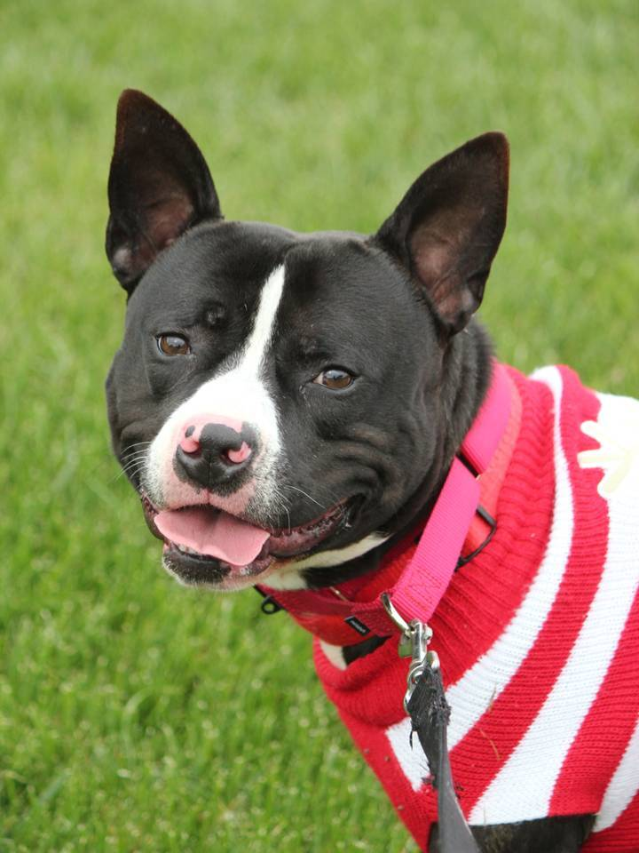 Petey, an adoptable Pit Bull Terrier Mix in Eagle, ID_image-1