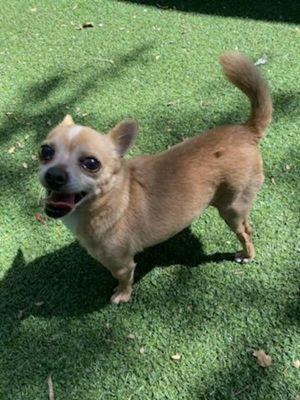 Pablo Chihuahua Dog