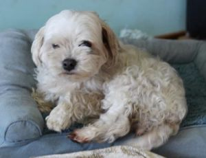 Lilly Maltipoo Dog