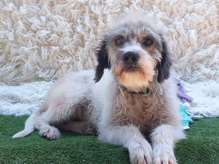Oggy, an adopted Schnauzer & Terrier Mix in San Diego, CA_image-1