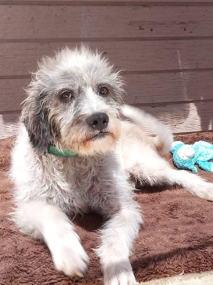 Oggy, an adopted Schnauzer & Terrier Mix in San Diego, CA_image-3